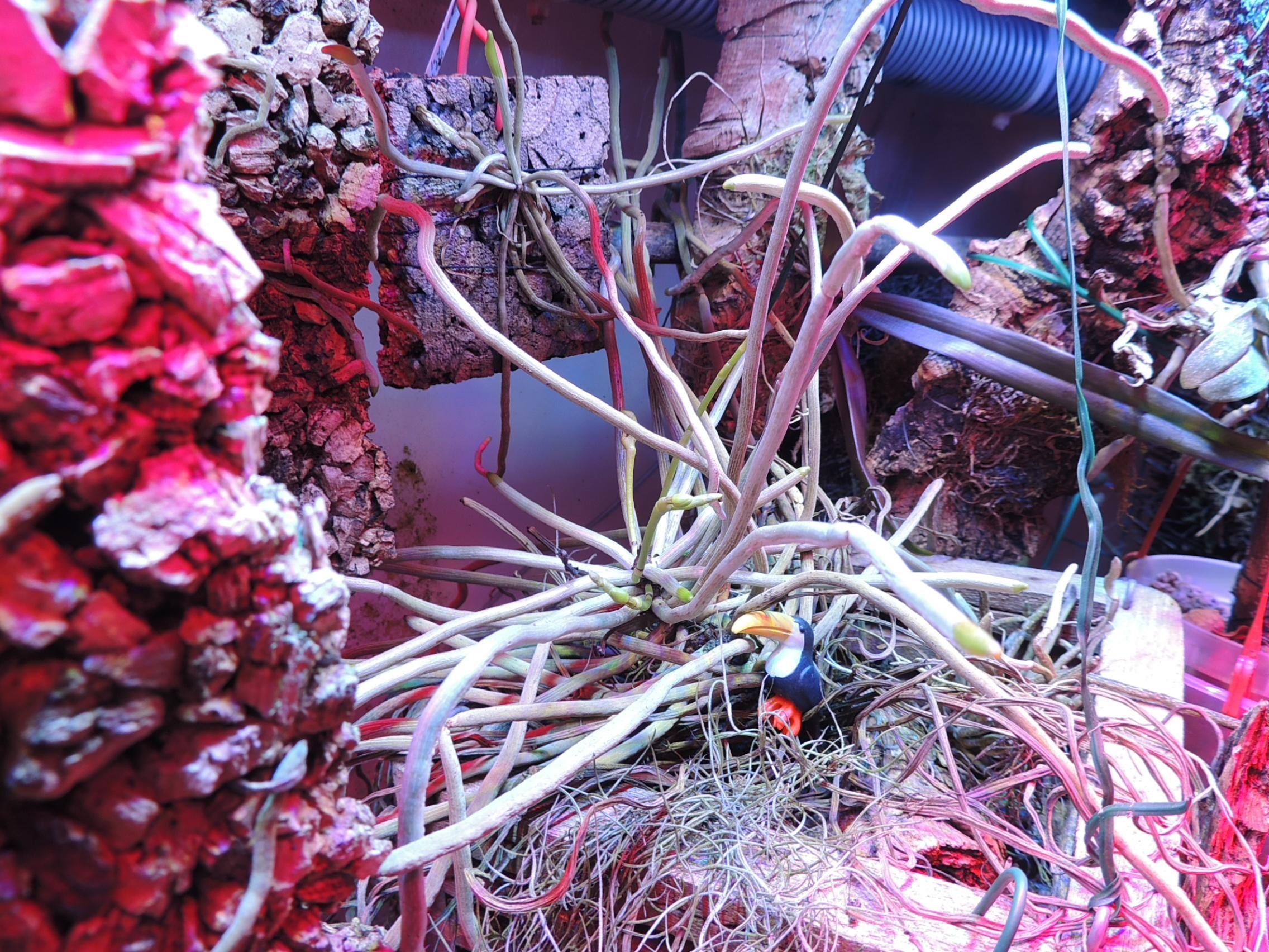 Hampe florale Dendrophylax funalis ? DSCN3528